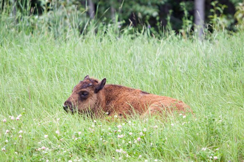 baby-bison-buffalo