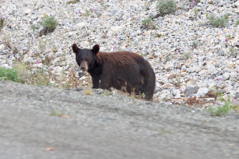 bear-in-yukon