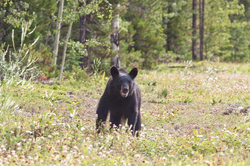 black-bear-canada