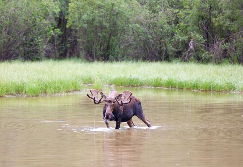 bull-moose-in-pond