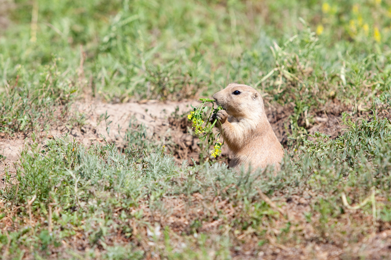 eating-prairie-dog
