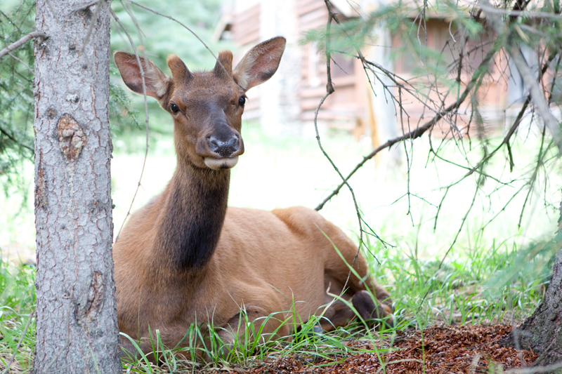 female-elk
