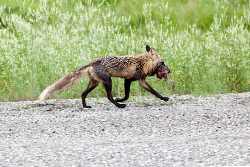 fox-in-canada