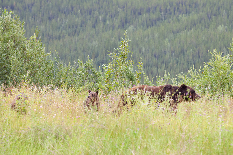 grizzly-bear-with-cubs