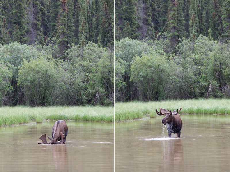 moose-canada