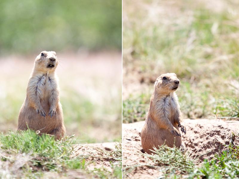 prairie-dog-photograph