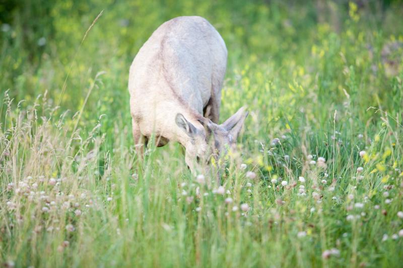 south-dakota-sheep