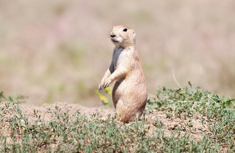 standing-prairie-dog